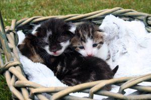 Katzenbabys im Korb