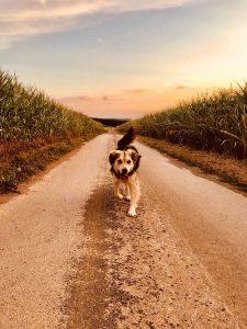 Mischling Joko läuft einen Feldweg entlang
