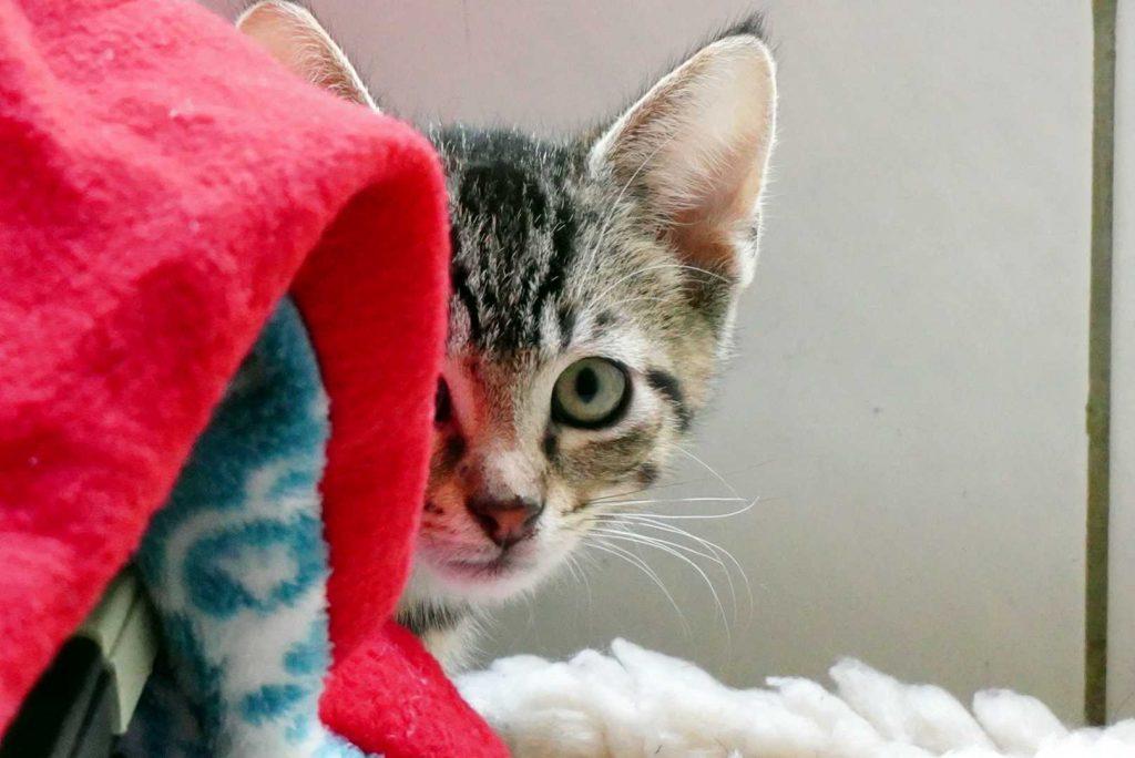 Süßes Kitten welches halb versteckt hinter einer Decker hervor guckt.