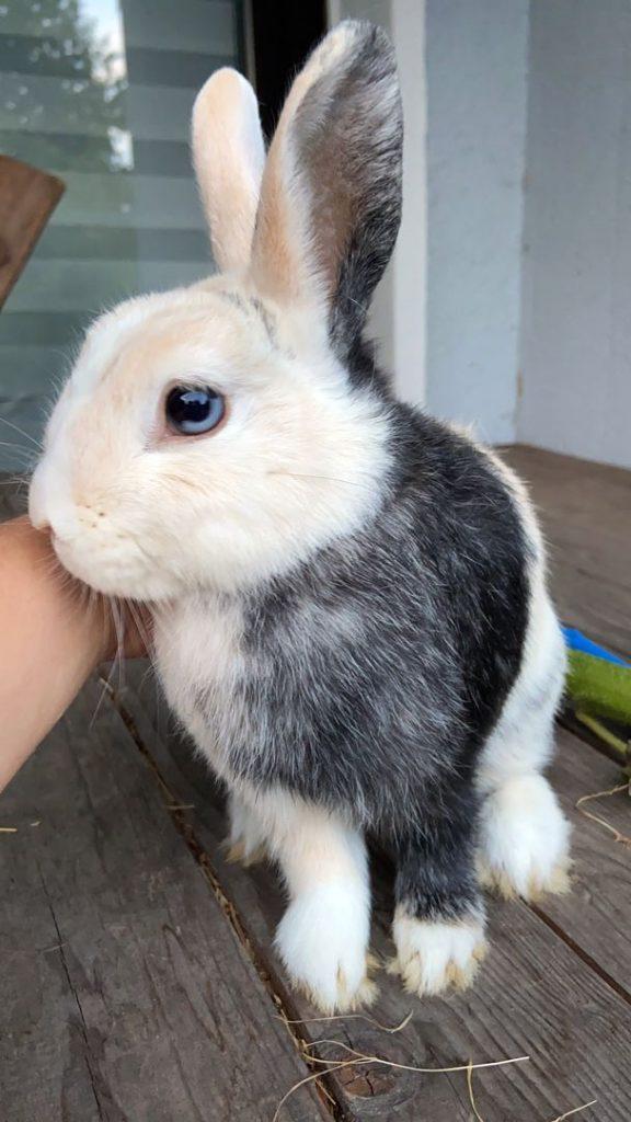 Dreifarbiges Kaninchen Bernd im Profil